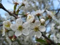 Ландшафтный дизайн сада: вишни и черешни как акцент ландшафтного дизайна и великолепная плодовая культура.